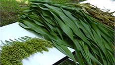 Tropical forage crops