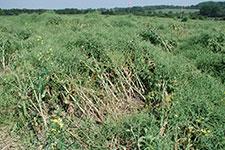 Phoma stem canker on oil seed rape