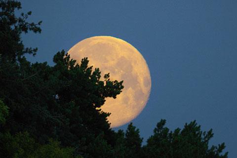 The moon rising over the pinetum at Bayfordbury