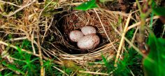New research finds cuckoos change their egg sizes according to their host