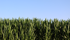 Crops in the sun