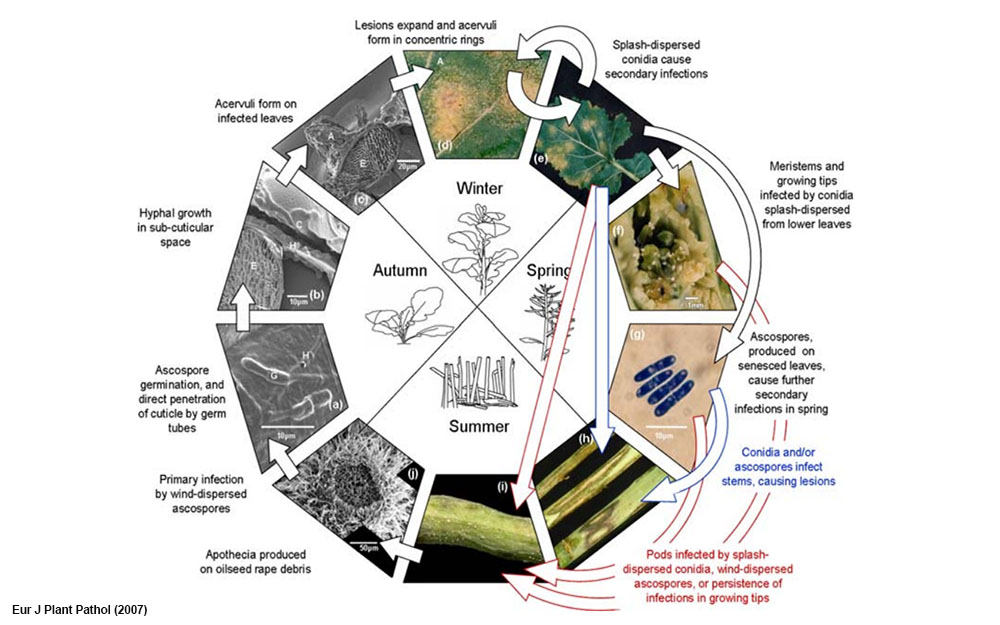 Figure 2. Seasonal cycle of light leaf spot epidemics in the UK in relation to components of oilseed rape (Brassica napus) resistance against Pyrenopeziza brassicae.