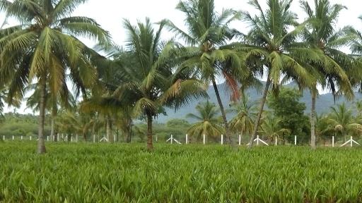 Coconut sampling