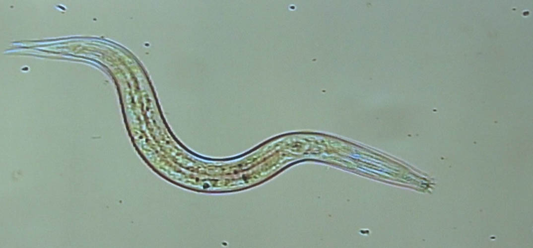 Plants use microbes to protect themselves from deadly roundworms