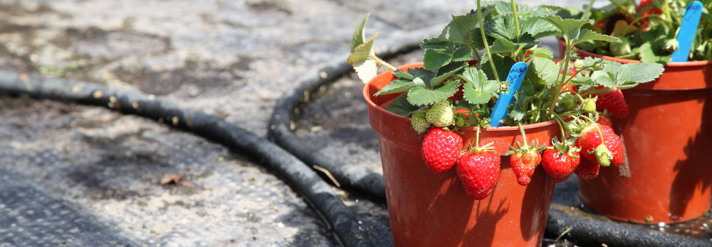 Two pots with strawberry plants