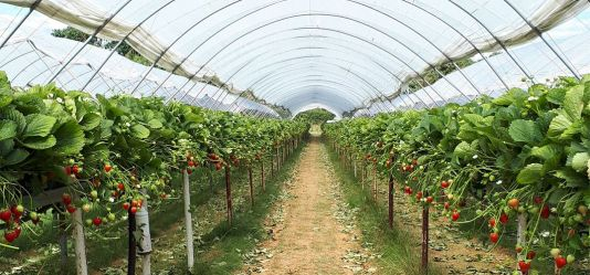 Powdery mildew prediction tool gives real boost to UK strawberry industry
