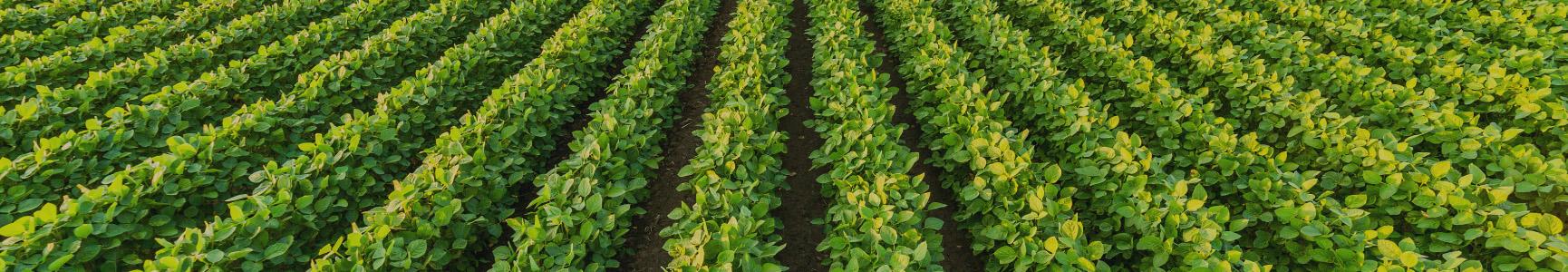Field of green crops