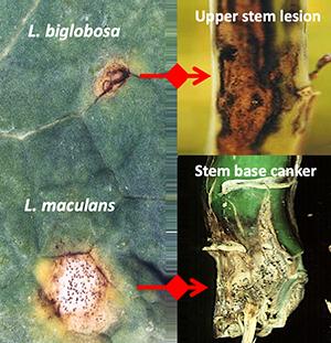 L. biglobosa, l maculans, Upper stem lesion and stem based cancer close up