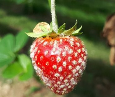 Fig 1 A strawberry fruit infected by Podospheara aphanis