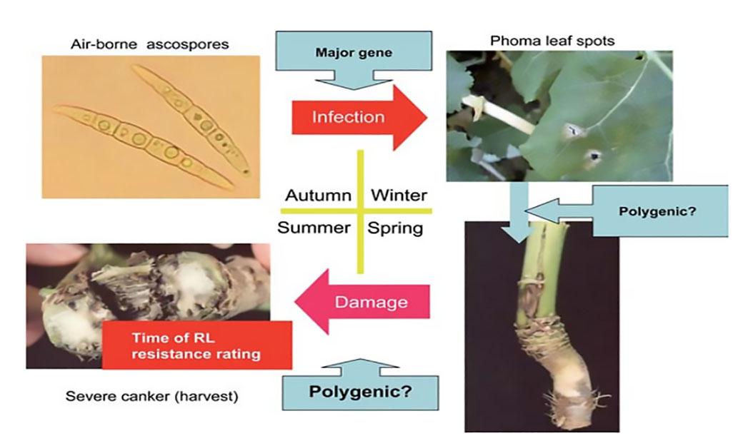 Figure 1. Seasonal cycle of phoma stem canker epidemics in the UK in relation to components of oilseed rape (Brassica napus) resistance against Leptosphaeria maculans (modified from Fitt et al., 2006, European Journal of Plant Pathology 114: 3-15)