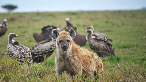 A hyena looks to camera, surrounded by vultures