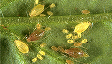 Close up of mites on a leaf