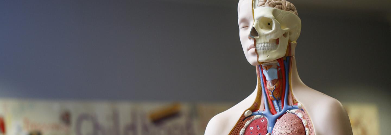 Anatomic model
